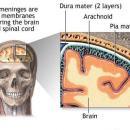 <b>Overall brain anatomy</b>