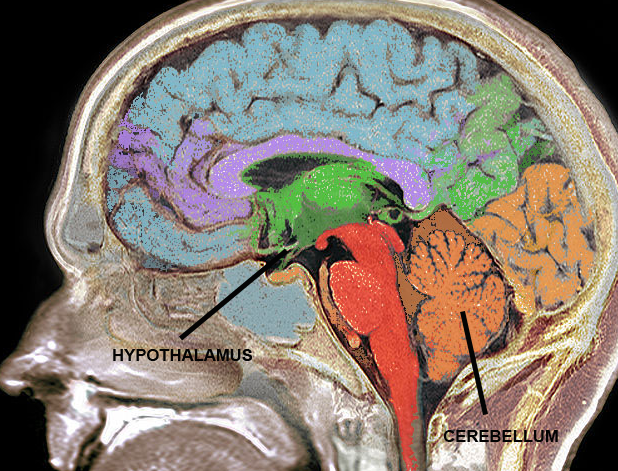 cerebellum_and_hypothalamus